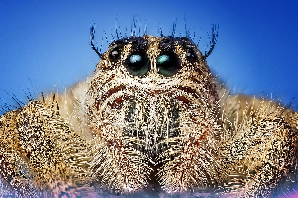 jumping spider spider insect macro eyes cute