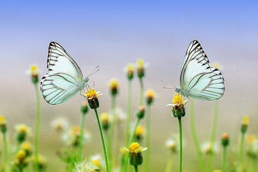 Papillons, Fleurs, Féconder