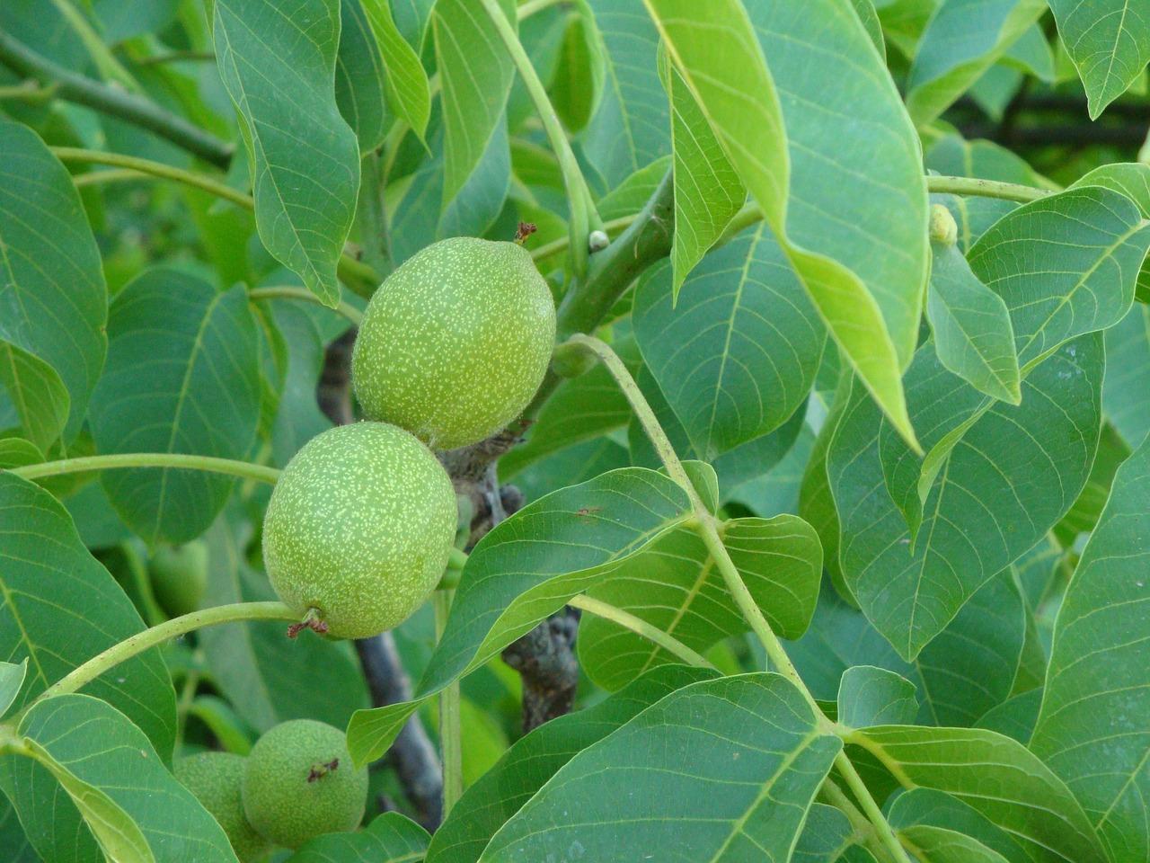 крепёжное изделие ореховые деревья фото чуть отойти