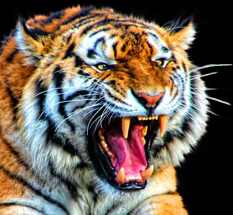 Tigre cat des animaux photo gratuite sur pixabay - Image animaux gratuite ...