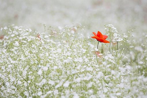 Poppy, Gypsophila Elegans, Red Color