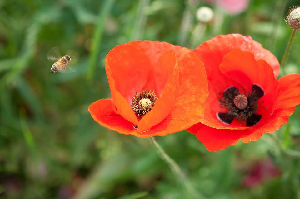 bee poppy red color flowers pink pink flowers
