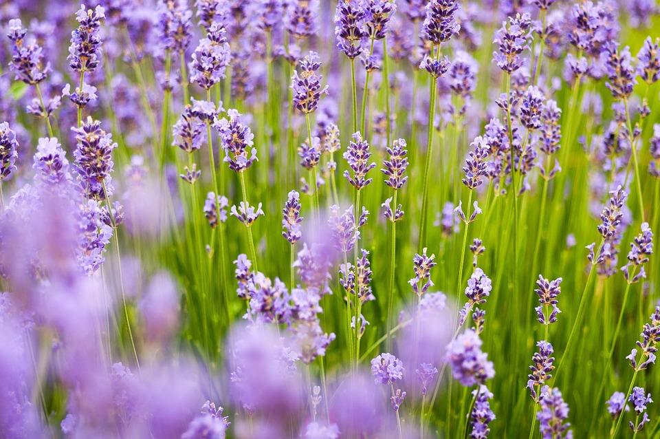 Lavender background purple free photo on pixabay - Lavender purple wallpaper ...