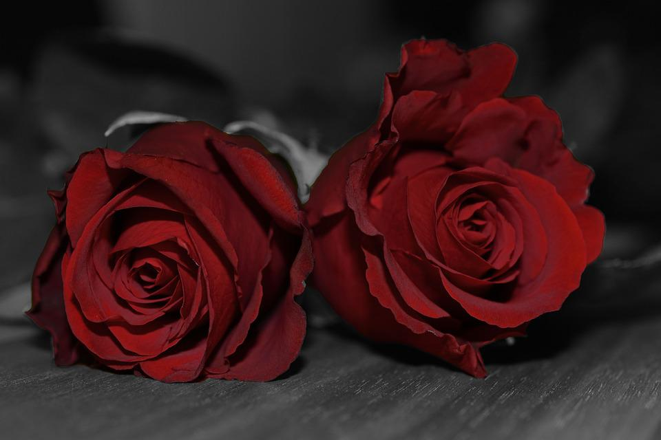 photo gratuite roses rouge roses rouges image