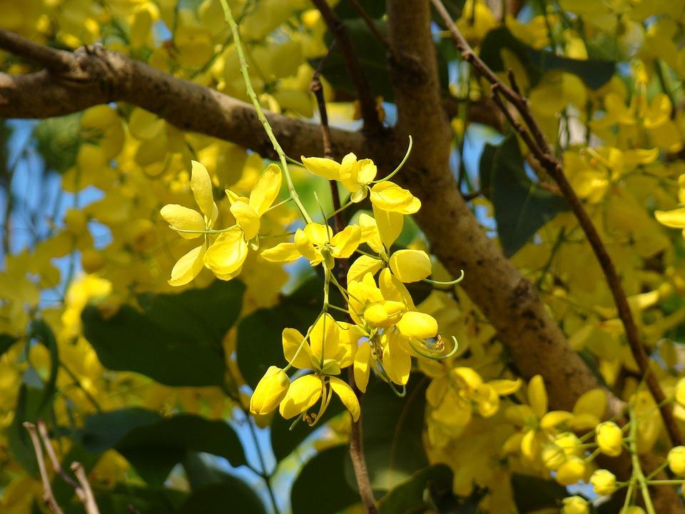 Yellow Flowers Tree Free Photo On Pixabay