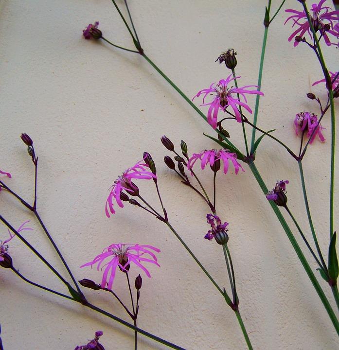 photo gratuite: fleur de prairie, rose, bleuet - image gratuite