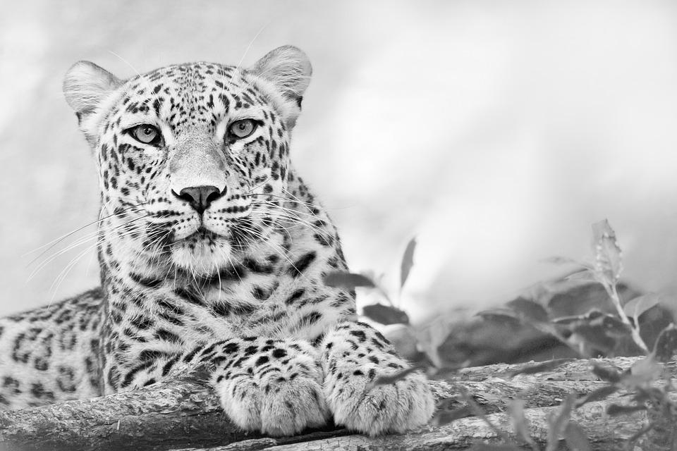 野生动物, 猫科动物, 豹, 动物园, 黑色和白色, 猫的, 肖像, 大猫