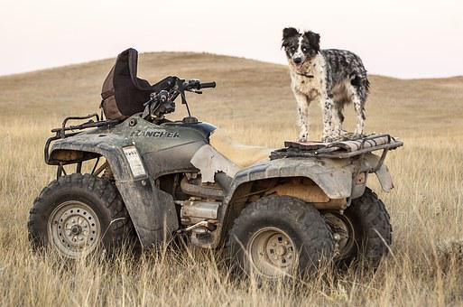 Atv Dogs Four Wheeler Dog Standing Pasture