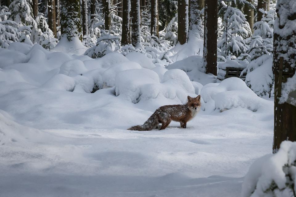 Fuchs Wildtier Tierwelt Kostenloses Foto Auf Pixabay