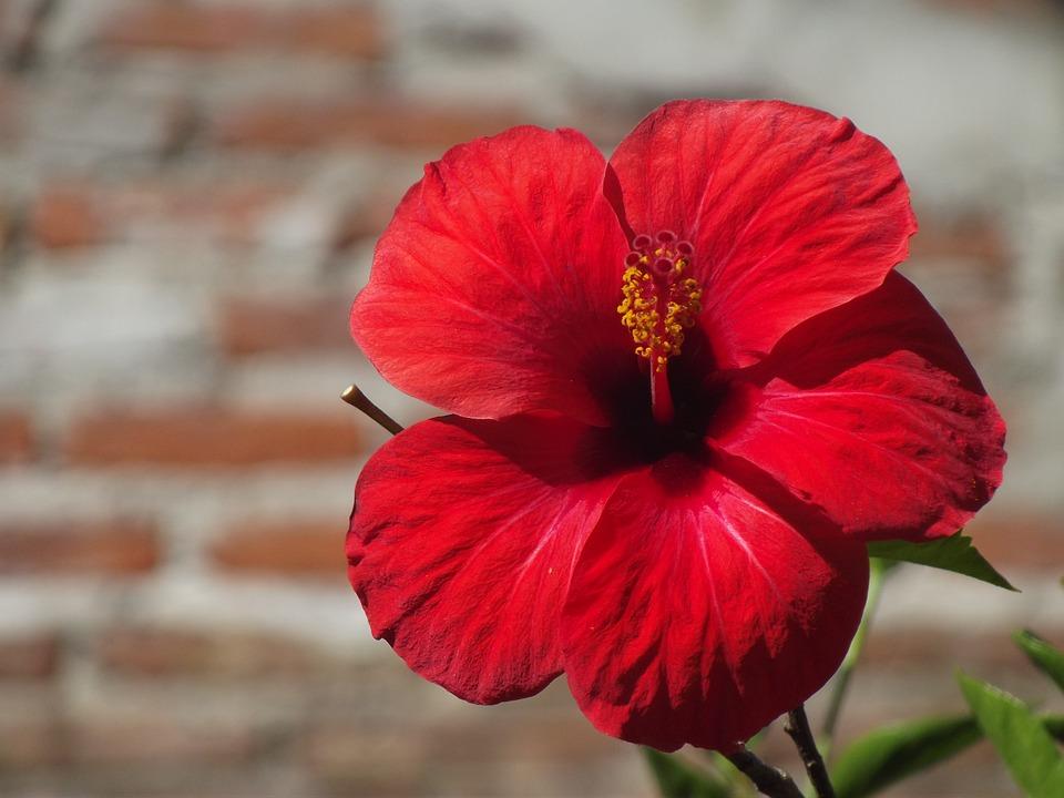 Free photo rose china rosa flower free image on - Rosas chinas ...