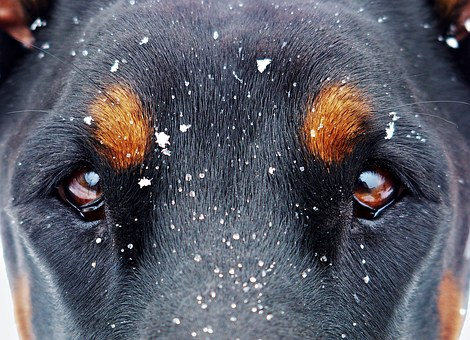 Eyes And The Snow Flakes, Doberman, Snow