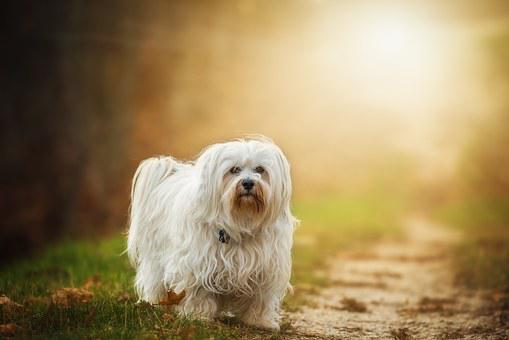 Dog, Flare, Havanese, Pet, Outdoor