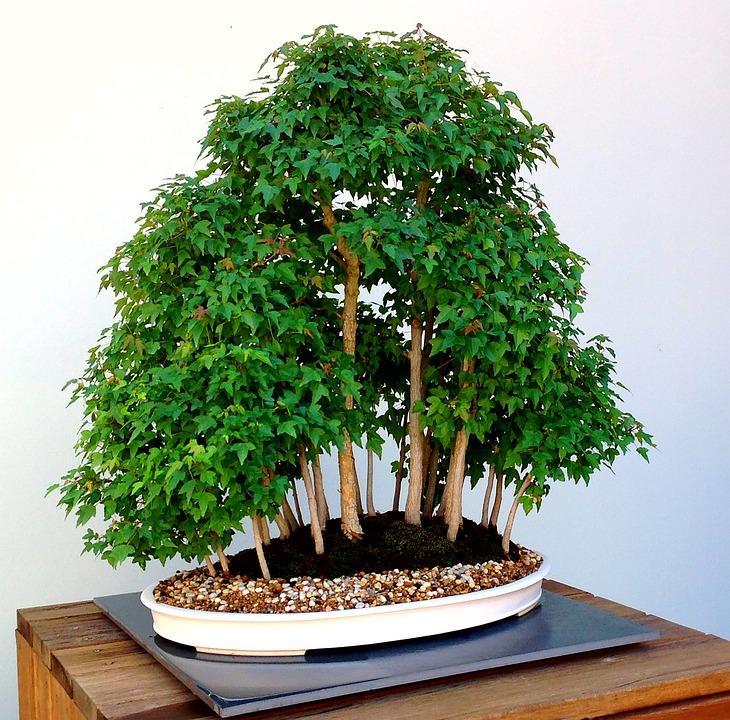 photo gratuite bonsa arbre japonais image gratuite. Black Bedroom Furniture Sets. Home Design Ideas