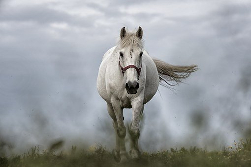 White Horse Nature Animal Mare