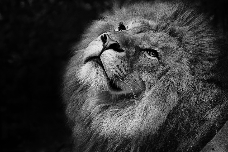 Nature Lion Big Cats Fury Angry Portrait Monochrome: Feline Lion Tawny · Free Photo On Pixabay