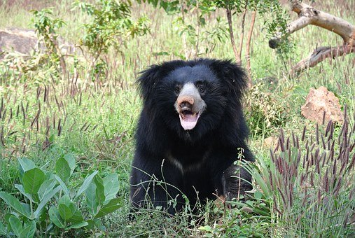 Sloth Bear, Bear, India, Animal, Sloth