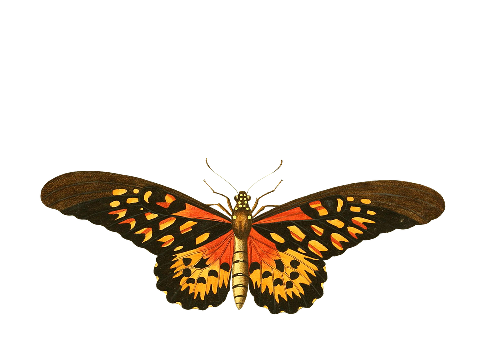 free illustration  butterfly  animal  insect  isolated