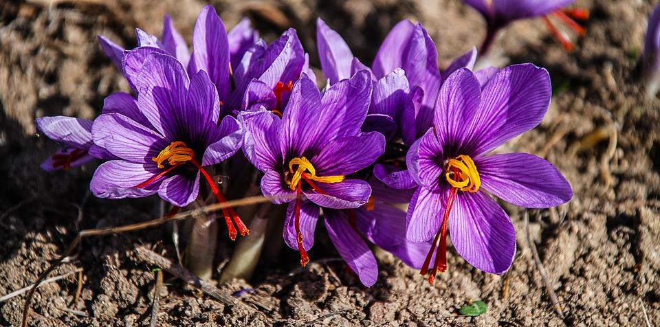 floraison-du-crocus-et-cueillette-du-precieux-pistil