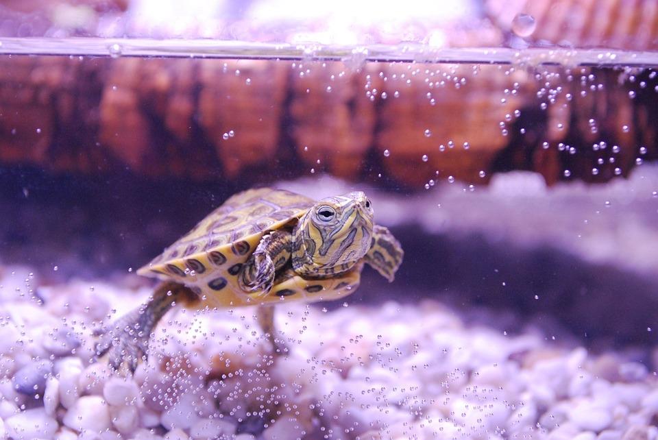 Turtle, Trachemys Scripta, Water Turtle, Aquarium