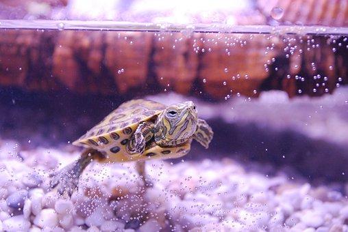 Turtle, Trachemys Scripta, Water Turtle