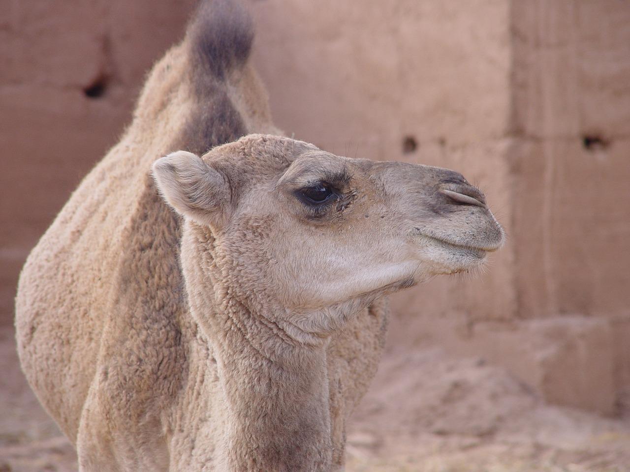 Животные верблюд картинки