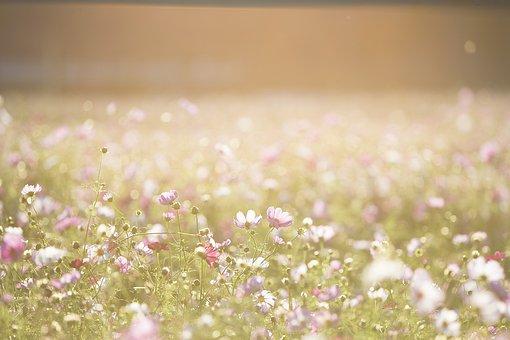 Cosmos Flowers, Flowers, Meadow, Nature