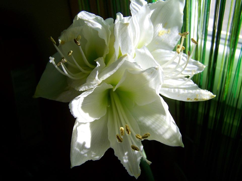 アマリリス, 白い花, 部屋の植物
