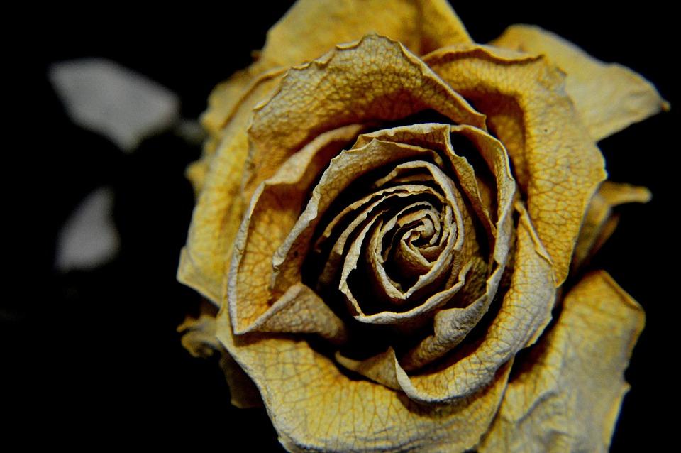photo gratuite: rose, sec, triste, jaune, fleur - image gratuite