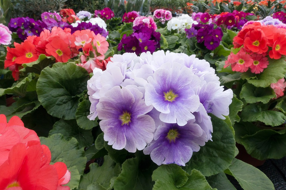 Gratis foto primula primula vulgaris hybride gratis for Primule immagini