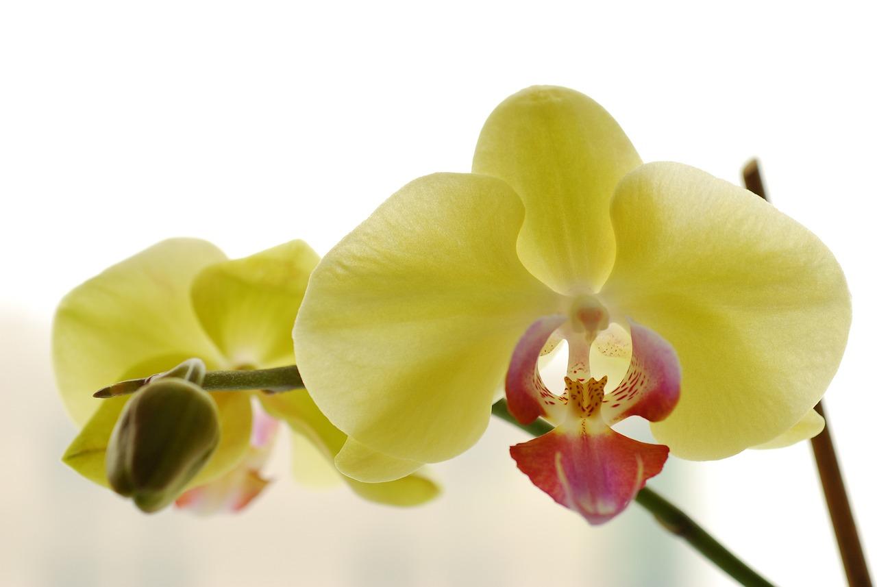 Лимонная орхидея фото