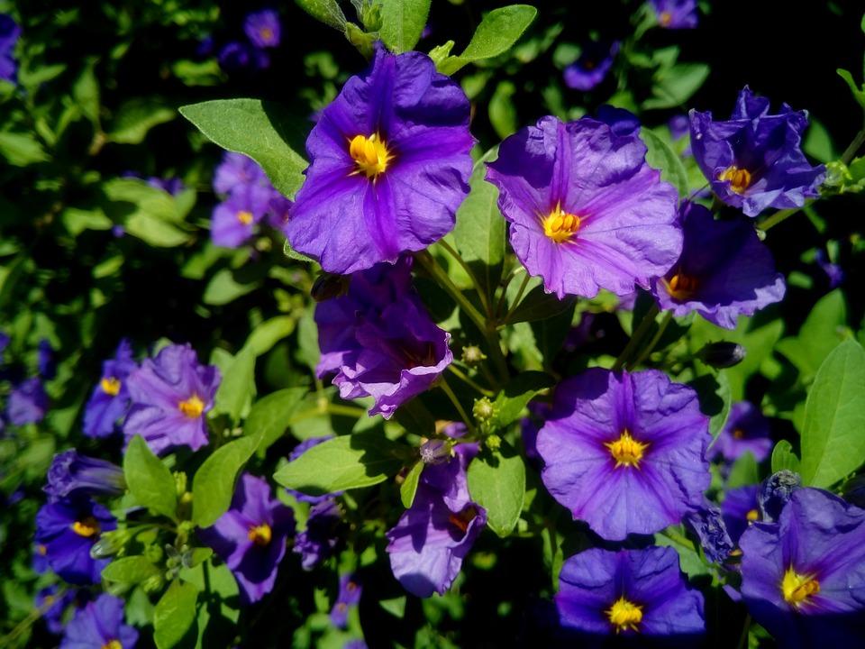 Foto gratis solanum lycianthes fiori pianta immagine for Pianta solanum