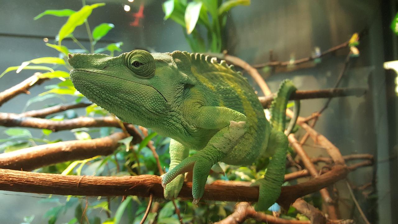 Bunglon Hijau Kebun Binatang Foto Gratis Di Pixabay