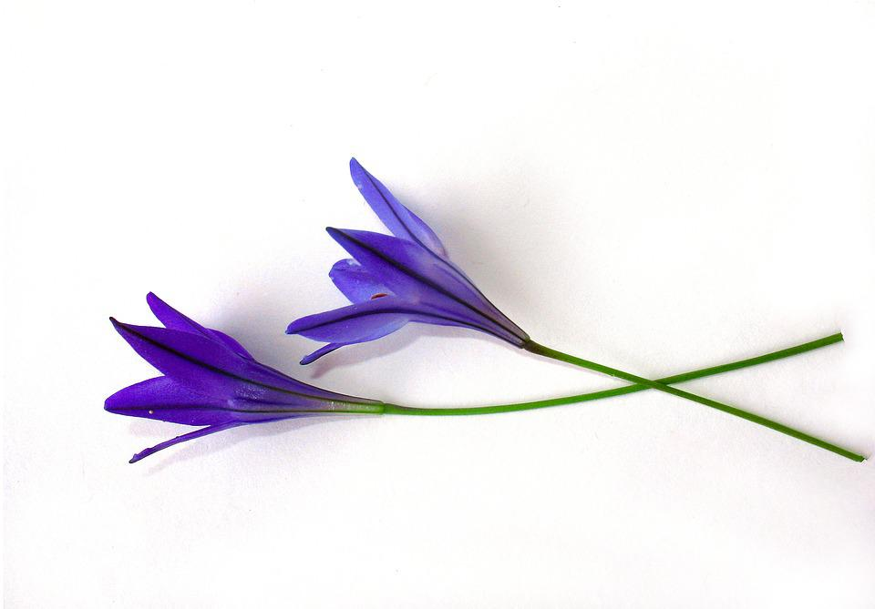 Flowers shoots blue white free photo on pixabay flowers shoots blue white background mightylinksfo