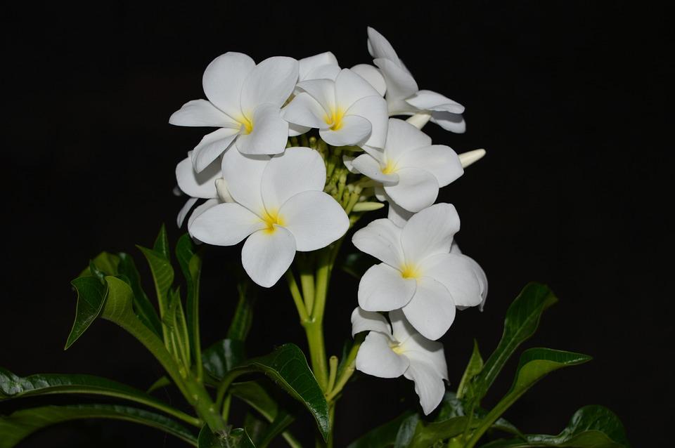 Plumeria white flower yellow free photo on pixabay plumeria white flower yellow center nature green mightylinksfo