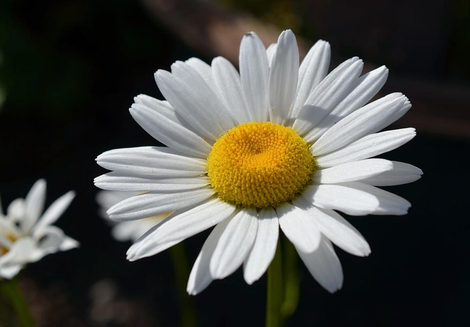 Marguerite fleur plantes photo gratuite sur pixabay - Image fleur marguerite ...
