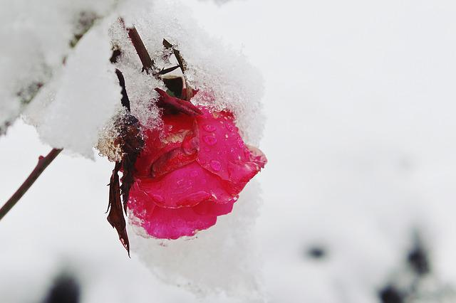 Free photo rose snow winter nature red free image - Rose in snow wallpaper ...