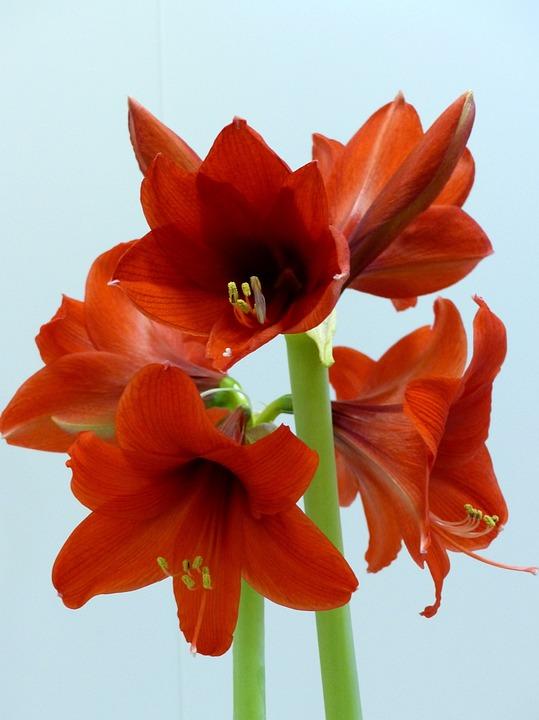 Photo gratuite amaryllis fleurs rouge sk lkar image for Amaryllis fleurs