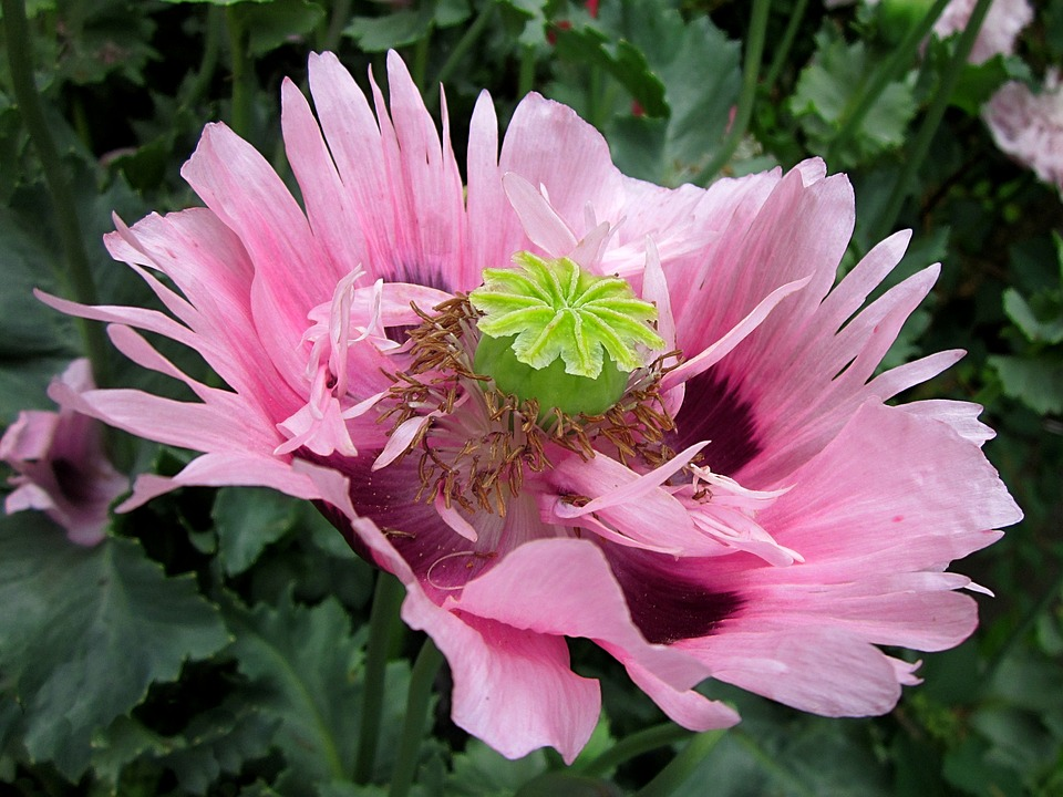 Pink Poppy Images Pixabay Download Free Pictures