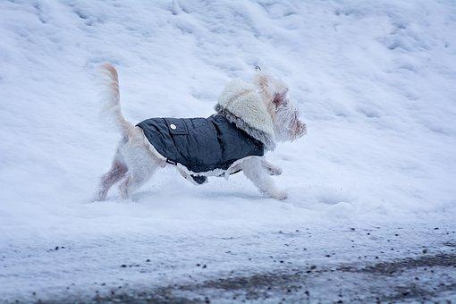 Maltees, Hond, Jonge Hond, Puppy