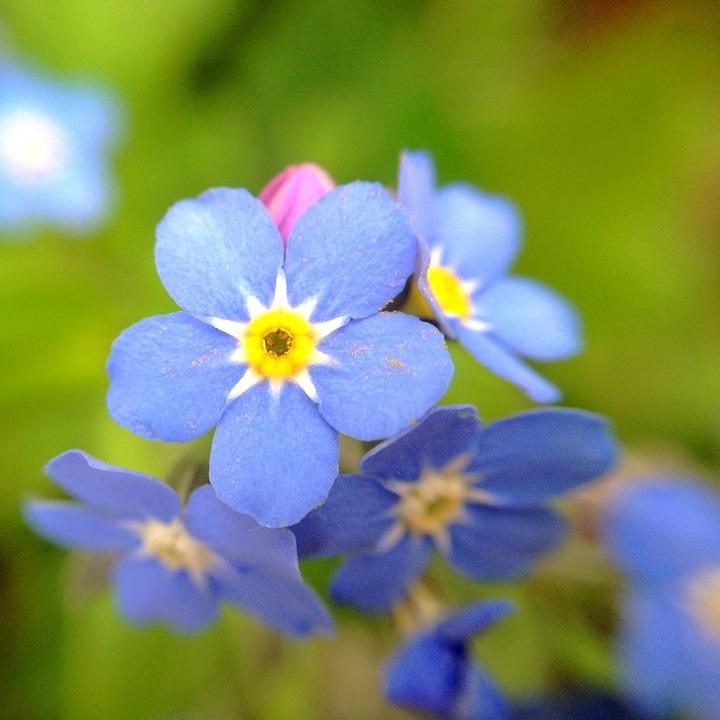 Bildresultat för blå och gula blommor