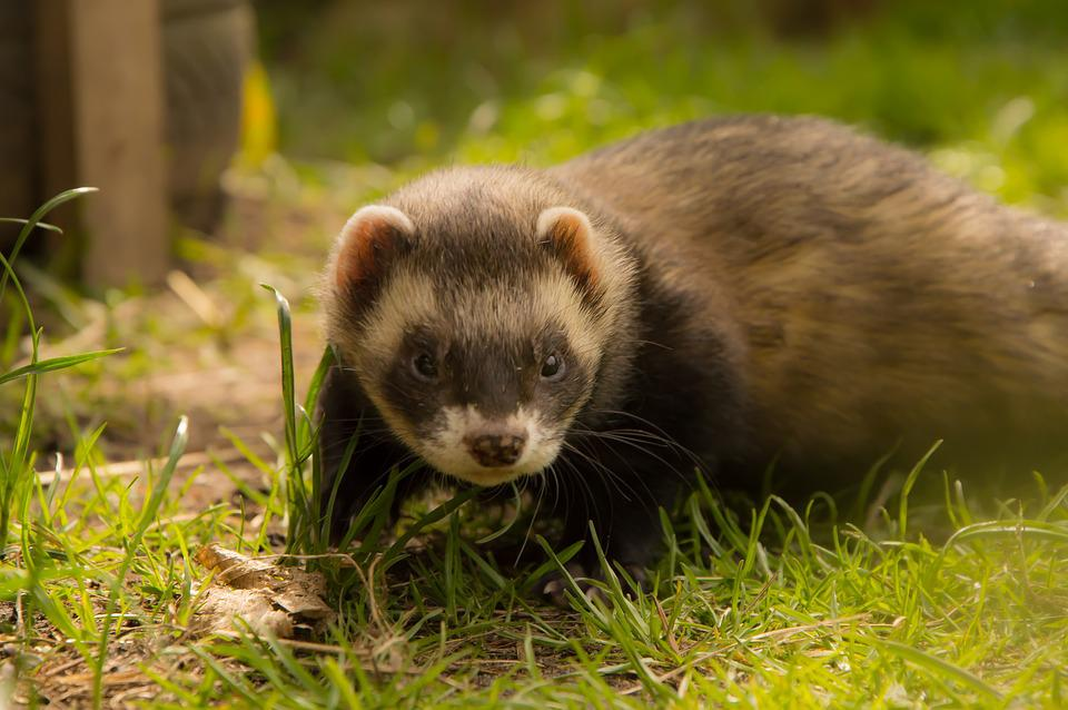 Ferret, Animals, Animal Welfare, Close Up