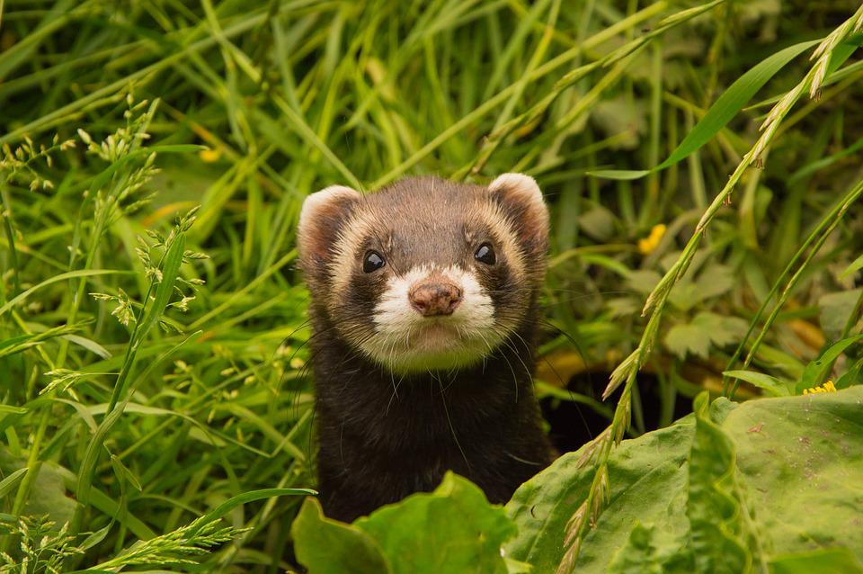 Animals, Ferret, Animal Welfare