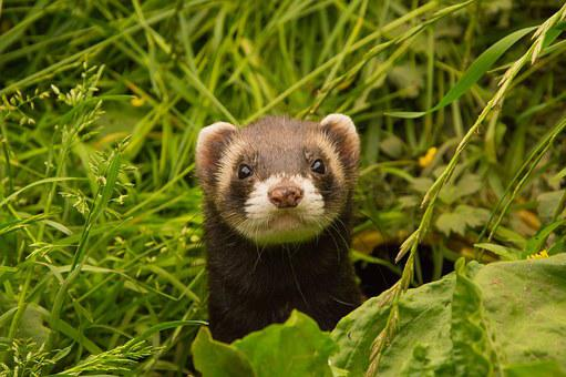 Animals Ferret Animal Welfare Ferret Ferre