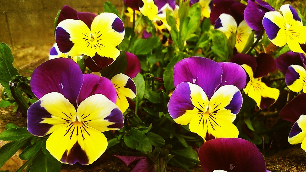можно цветы анютины глазки с картинками урок