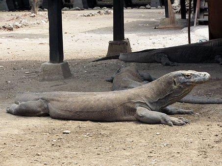 Indonesia, Komodo, Dragon, National