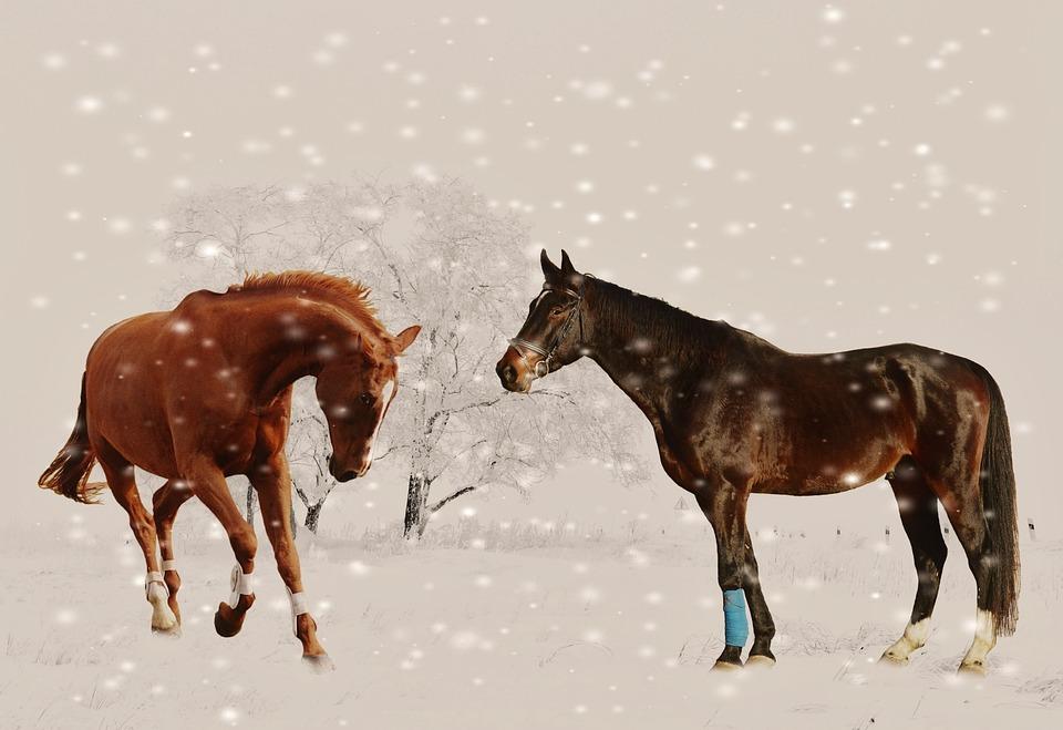 Free Photo Winter Horses Play Snow Animal Free