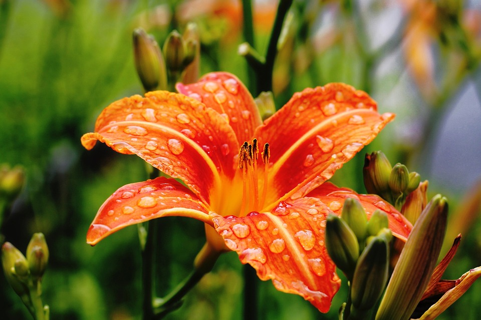 Photo gratuite fleur jardin p tales orange image for Catalogue fleurs de jardin