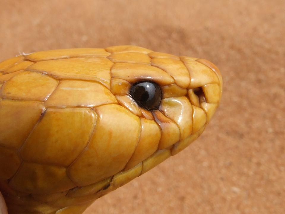 コブラ 頭 ヘビ · Pixabayの無料...