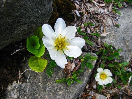 Mountain Avens, Alpine Flower