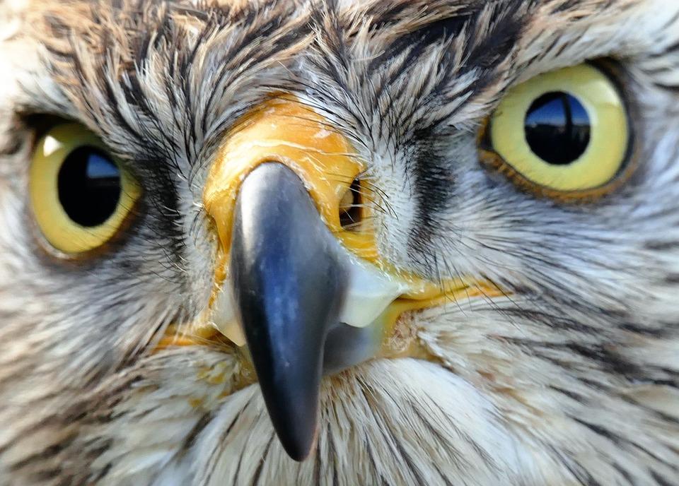 ave de rapina falcão pássaro foto gratuita no pixabay